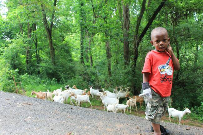 They're baaaack! Kudzu-eating goats return to clean up Knoxville